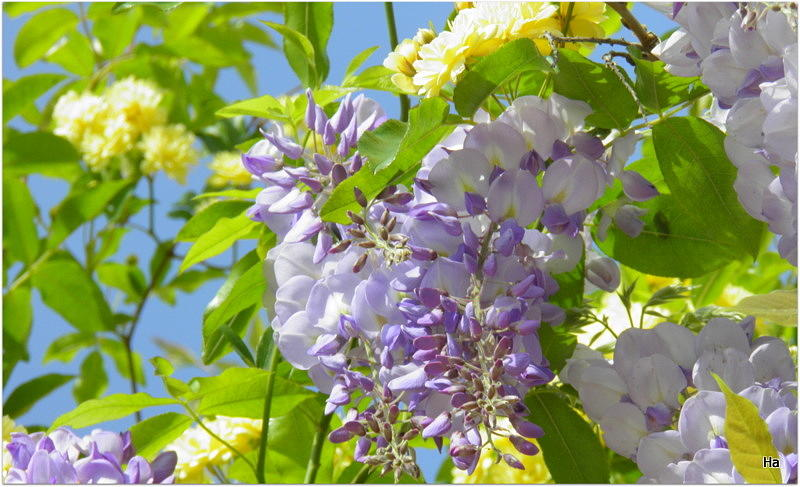 Glizine Meravilia Photograph by Halina Nechyporuk
