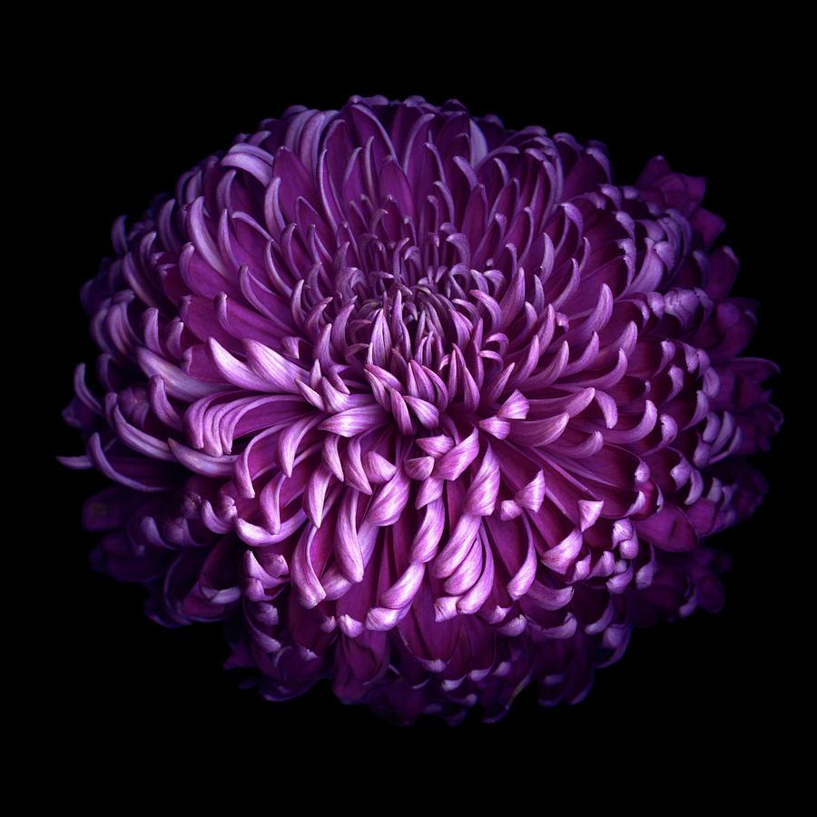 Glorious Autumn Purple Chrysanthemum Photograph by Photograph By Magda Indigo
