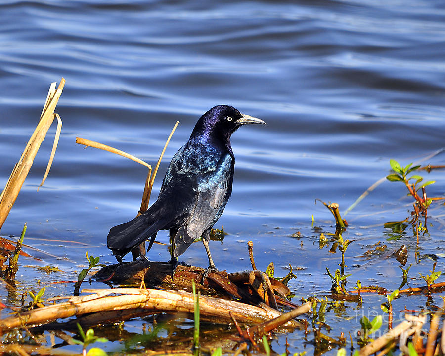 Grackle Photograph - Glorious Grackle by Al Powell Photography USA