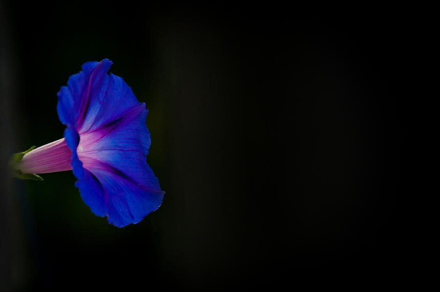 Morning Glory Photograph - Glorious Simplicity by Cheryl Baxter