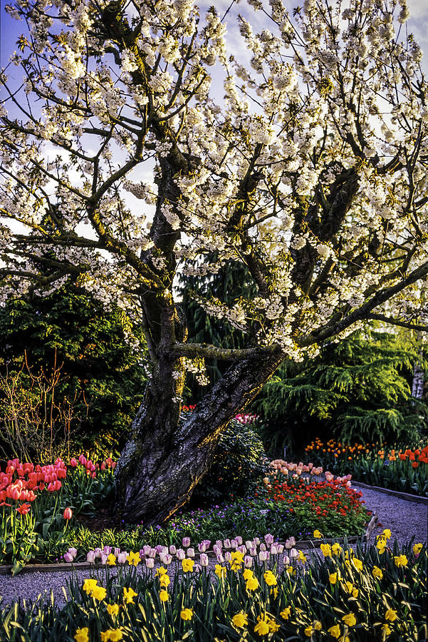 Glorious Spring Blooming, Stanley Park, Vancouver, British Columbia, Canada Photograph by Pierre Longnus
