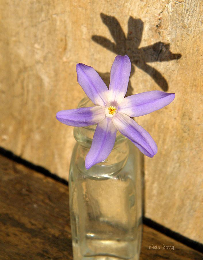 Chionodoxa Photograph - Glory Of The Snow In A Jar by Chris Berry