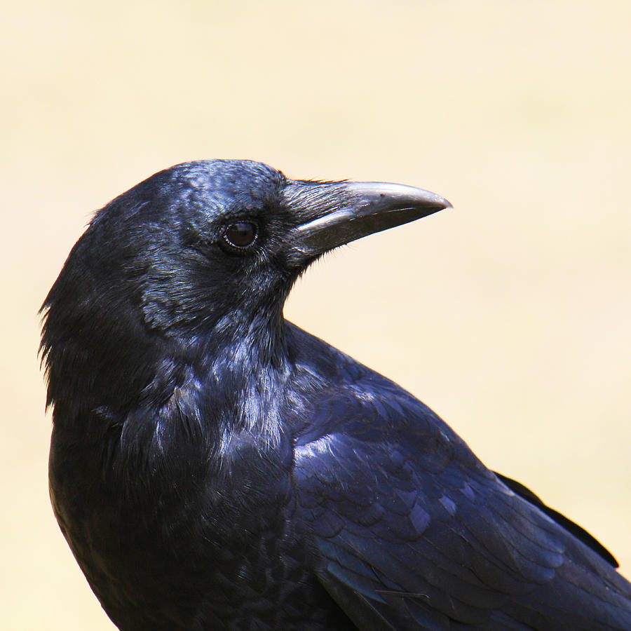 American Crow Photograph - Glossy Crow by Bob and Jan Shriner