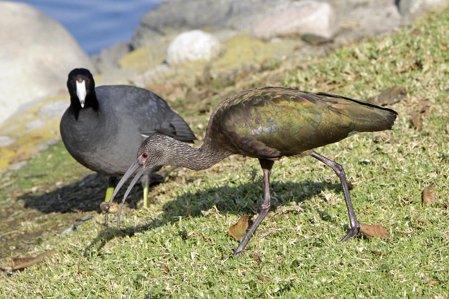 Ibis Photograph - Glossy Ibis by Shoal Hollingsworth