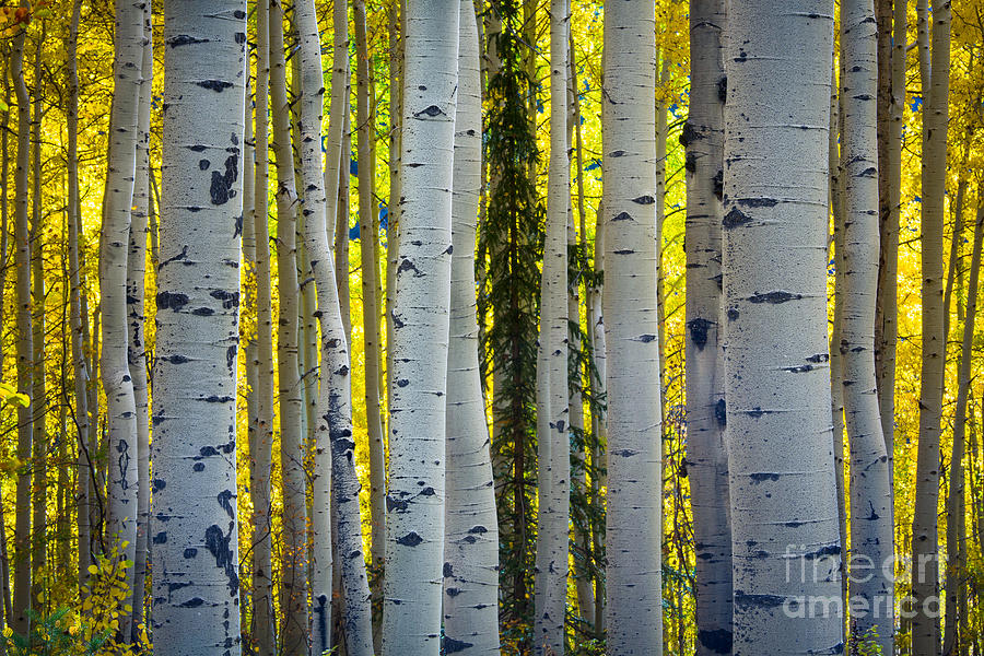 America Photograph - Glowing Aspens by Inge Johnsson