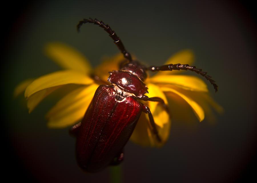 Glowing Photograph - Glowing Beetle by Douglas Barnett