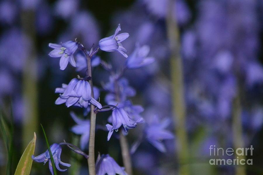 Flower Photograph - Glowing Blue Bells by Aqil Jannaty