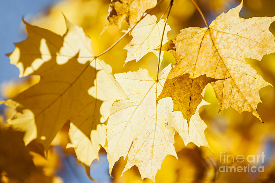 Maple Photograph - Glowing Fall Maple Leaves by Elena Elisseeva