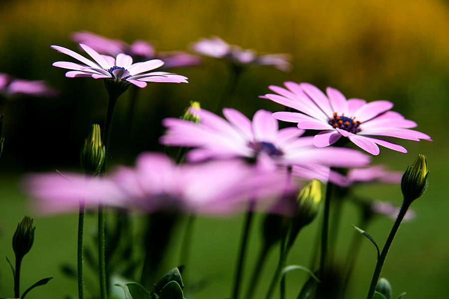 Flower Photograph - Glowing In The Sun by Kim Lagerhem