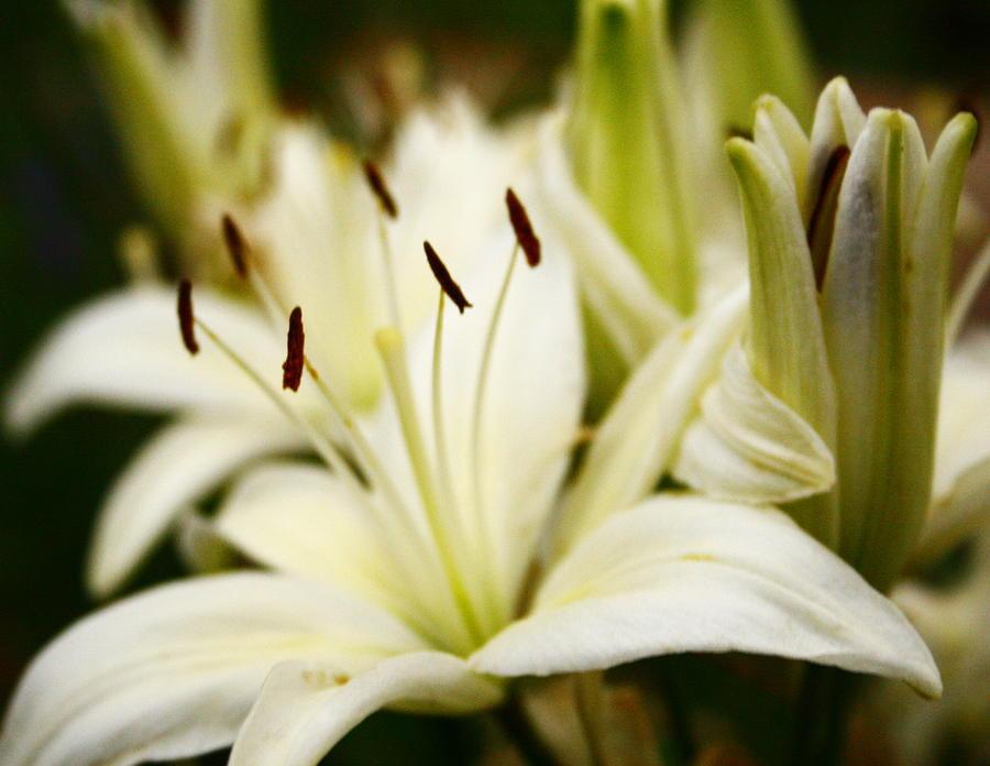 White Photograph - Glowing Lillies by Alexandra  Rampolla