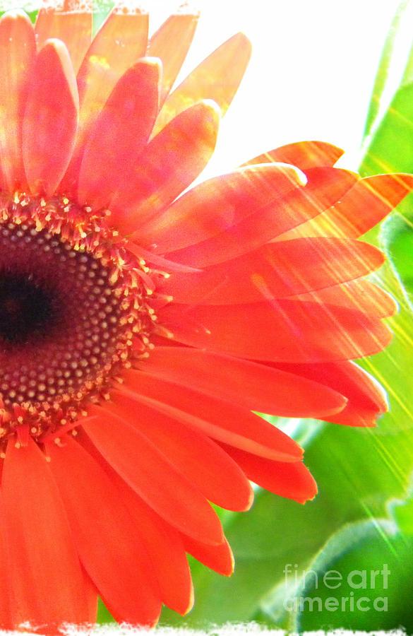Flower Photograph - Glowing by Lorraine Heath