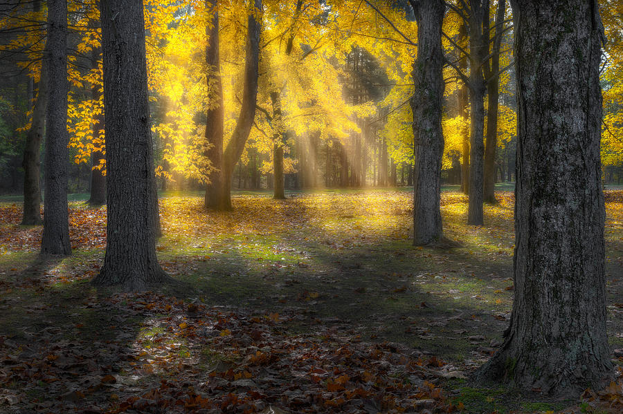 Tree Photograph - Glowing Maples by Bill Wakeley