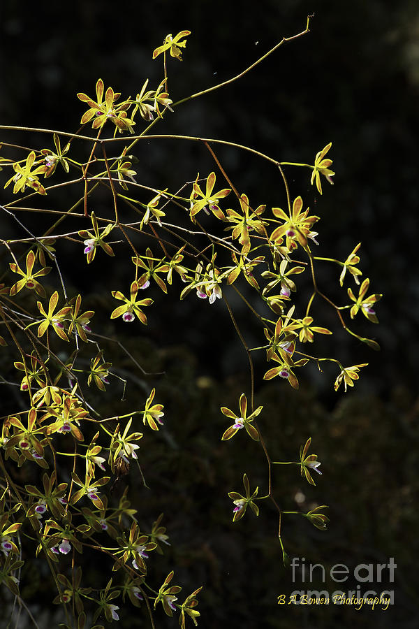 Butterfly Orchid Photograph - Glowing Orchids by Barbara Bowen