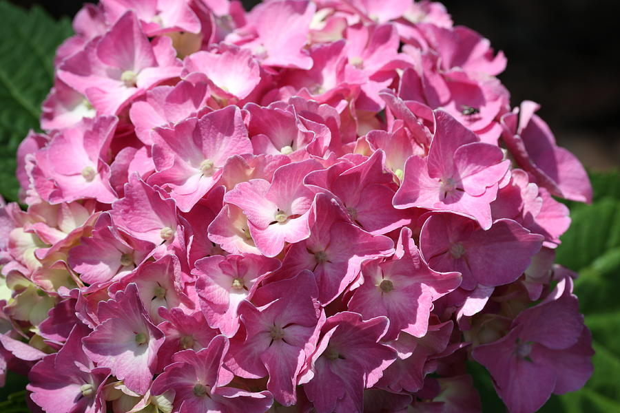 Hydrangea Photograph - Glowing Pink Hydrangea by Christiane Schulze Art And Photography