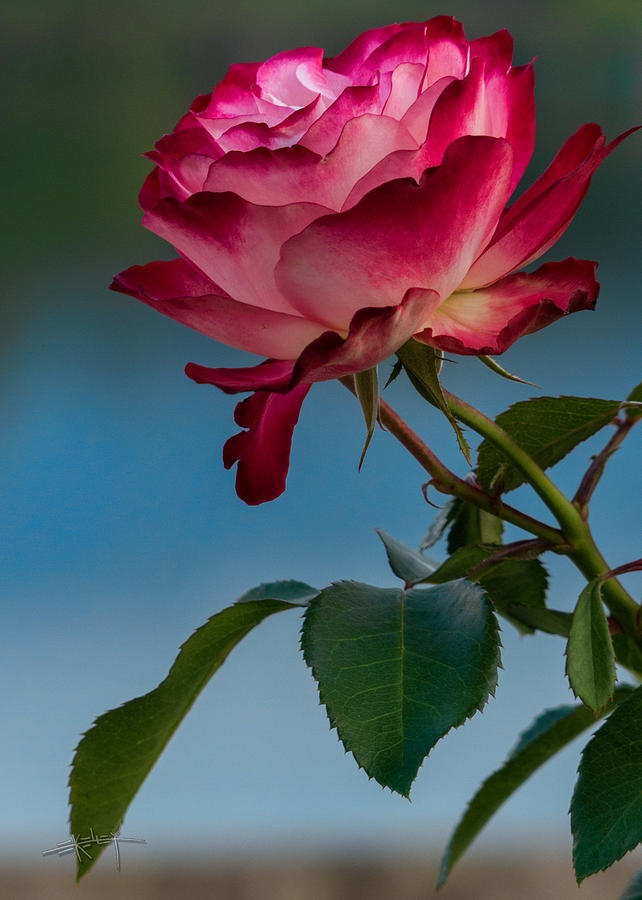 Glowing Rose by Ed Kelley