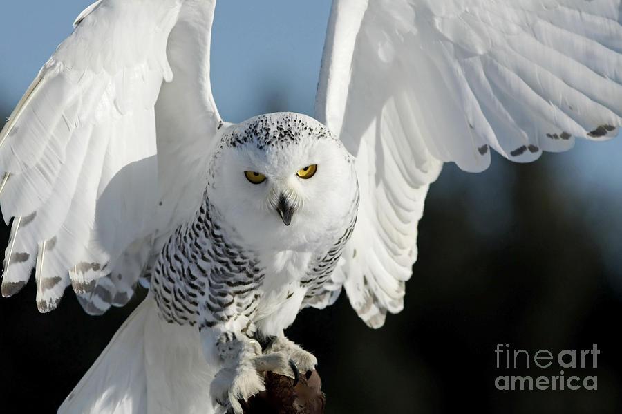 Glowing Snowy Owl In Flight Photograph - Glowing Snowy Owl In Flight by Inspired Nature Photography Fine Art Photography