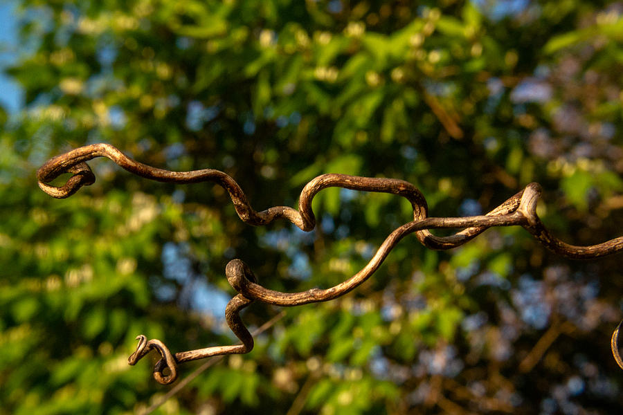 Gnarled Photograph - Gnarled Plant Tendrils by Douglas Barnett