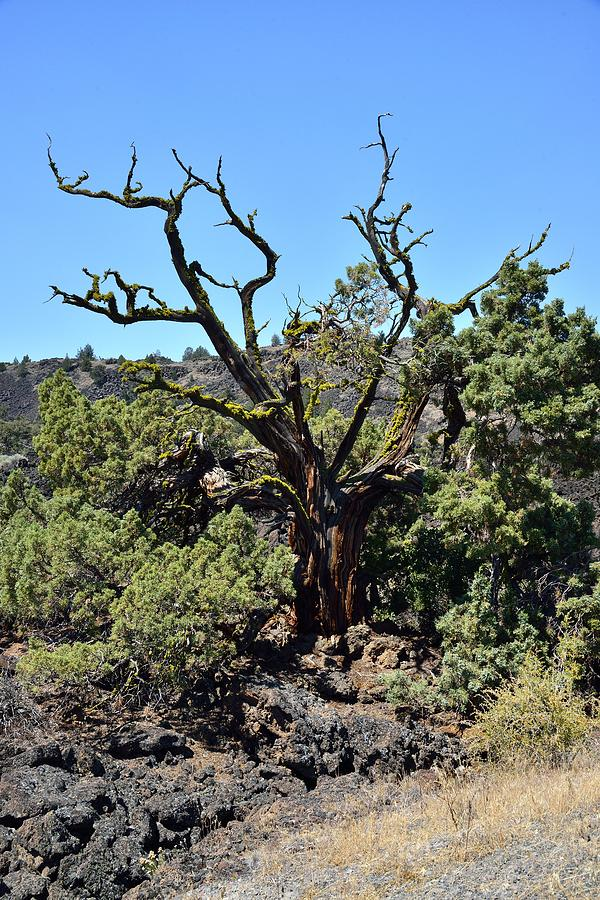 Gnarled Photograph - Gnarled Tree On The Lava Beds - Portrait by Rich Rauenzahn