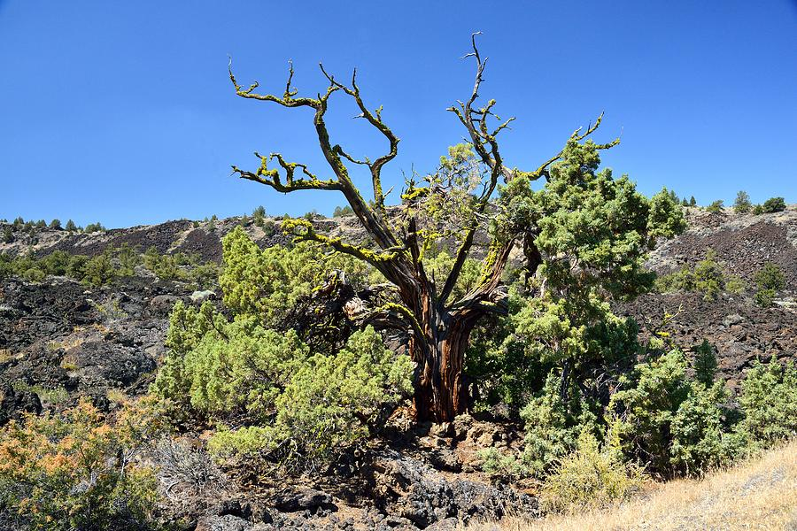 Lava Beds Photograph - Gnarled Tree On The Lava Beds by Rich Rauenzahn