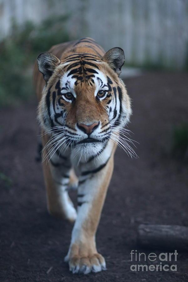 Go Get em Tiger Photograph by Brenda Schwartz