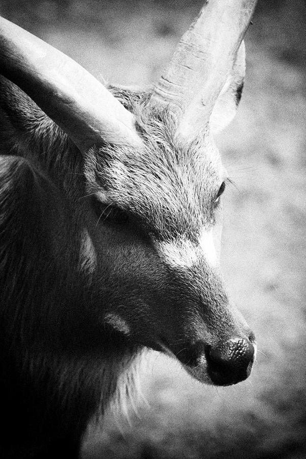 Mammal Photograph - Goat by Goyo Ambrosio