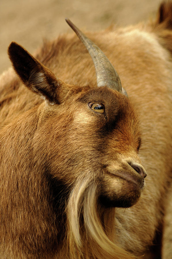 Goat Photograph - Goat by Maria Mosolova/science Photo Library