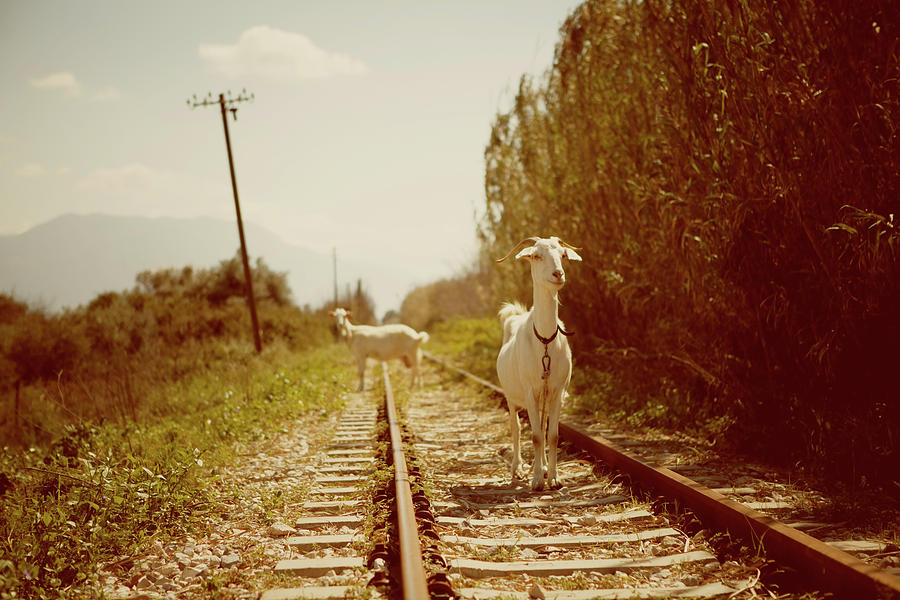 Goats On A Railroad Track Photograph by Thanasis Zovoilis