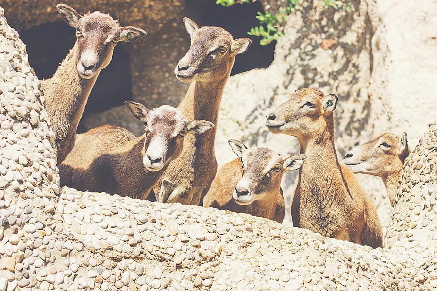Mammal Photograph - Goats On A Rock by Pati Photography