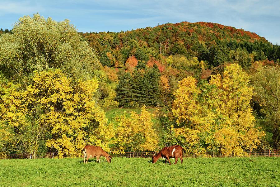Goats On Pasture, Palatinate Forest Photograph by Jochen Schlenker