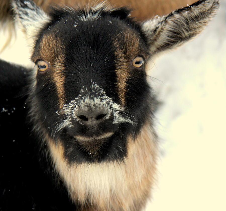 Animal Photograph - Goatstache by Kathy Bassett