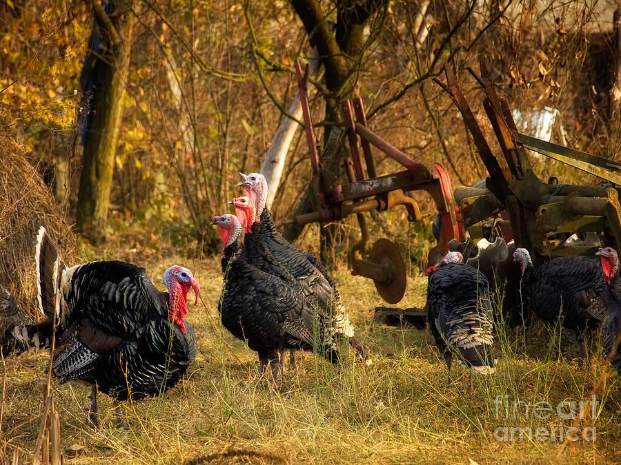 Strutting Photograph - Gobbler Harem by Sinisa Botas
