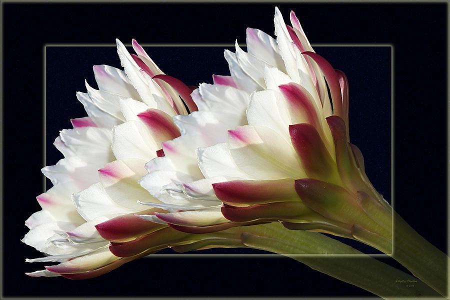 Flowers Photograph - Gods Trumpets by Phyllis Denton