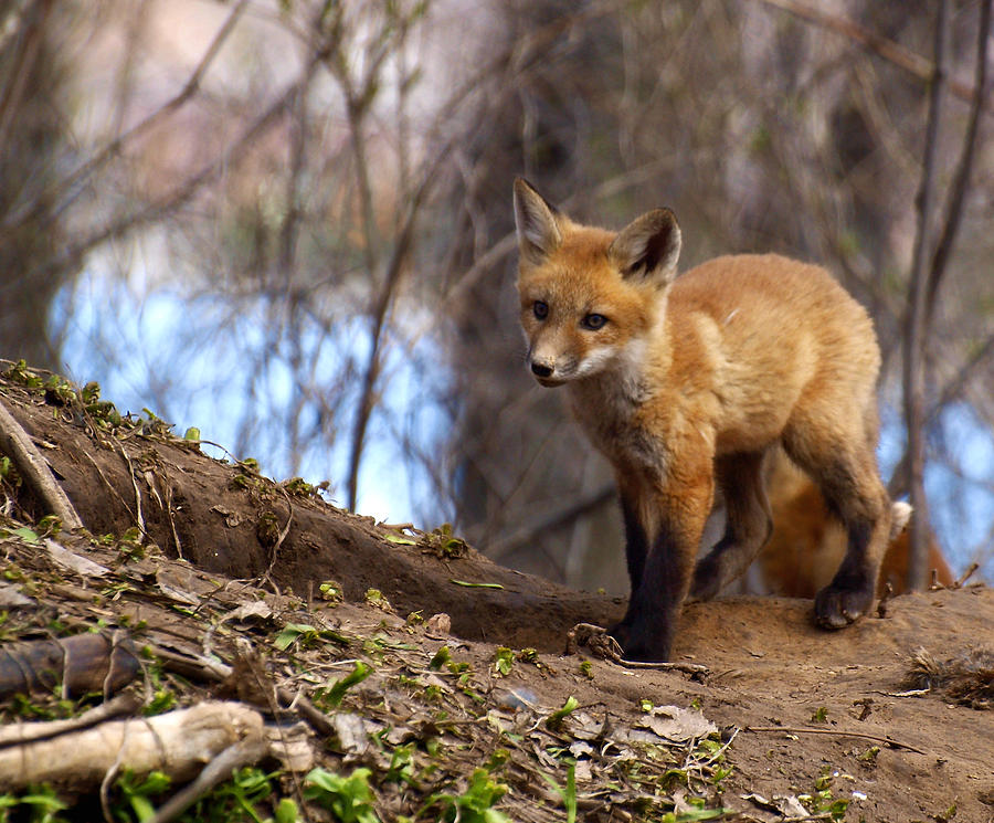 Fox Photograph - Going To The Den  by Thomas Young