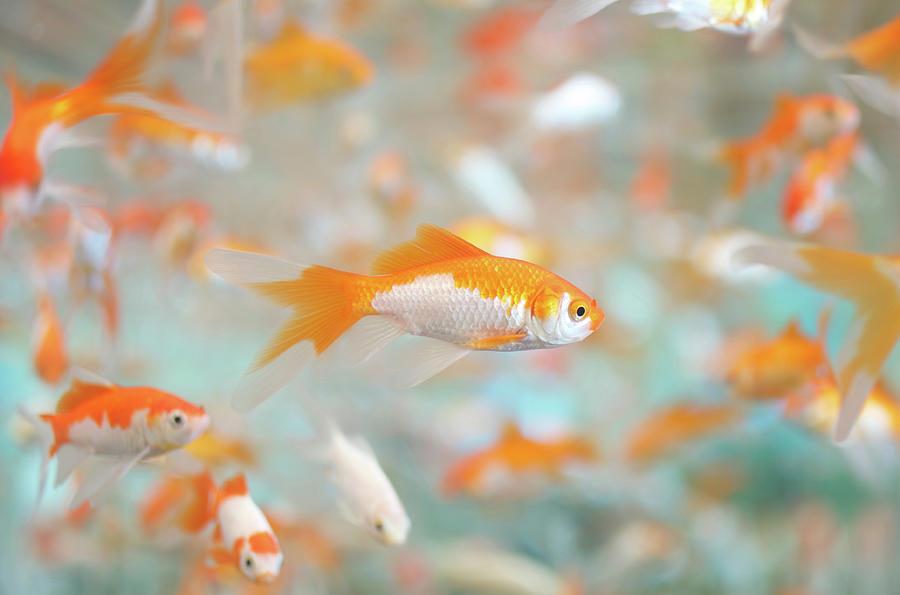 Gold Fish Photograph by Keiko Iwabuchi