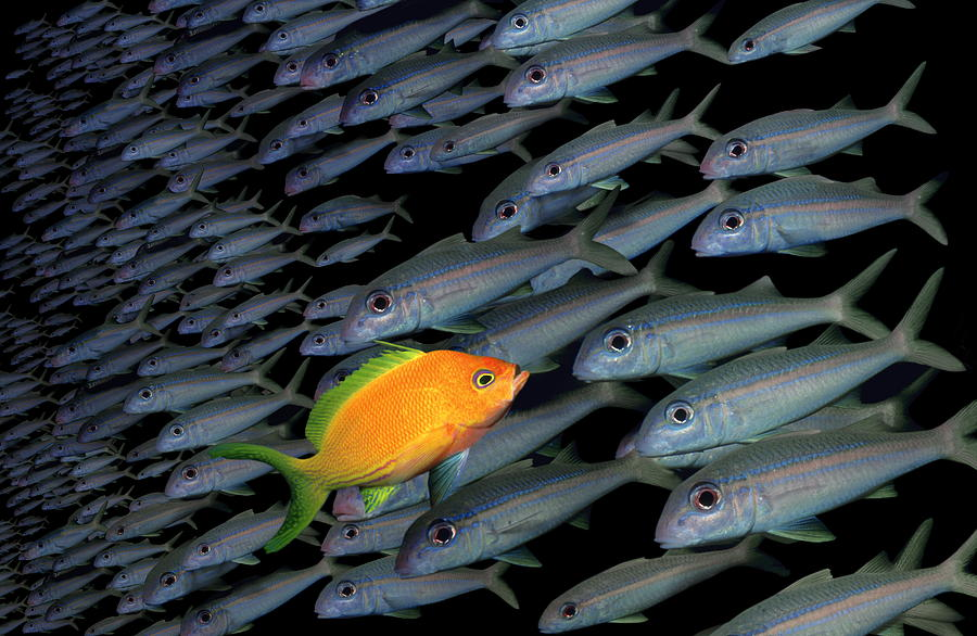 Gold Fish Swimming Opposite Direction To Grey Shoal Photograph by Steve Bloom