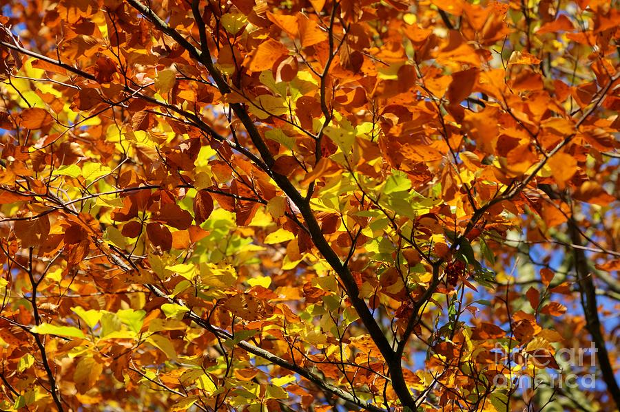 Autumn Photograph - Gold Leaves Of Autumn by David Birchall
