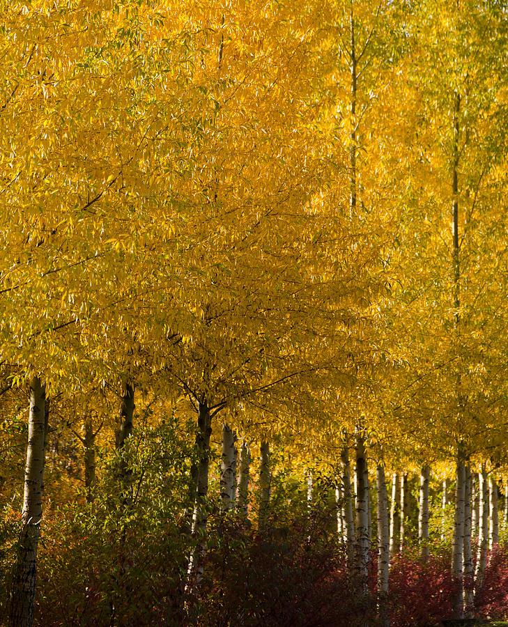 Aspens Photograph - Golden Aspens by Don Schwartz