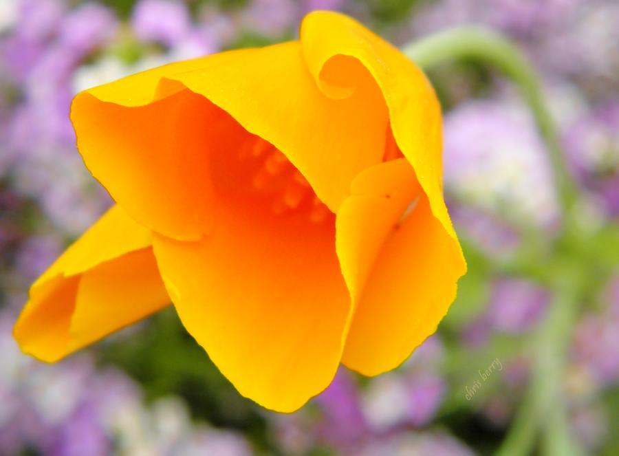 California Photograph - Golden California Poppy by Chris Berry