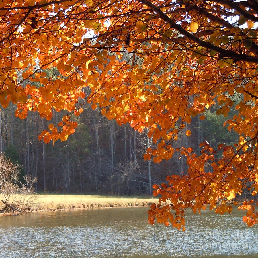 Lake Photograph - Golden Canopy by Pauline Ross
