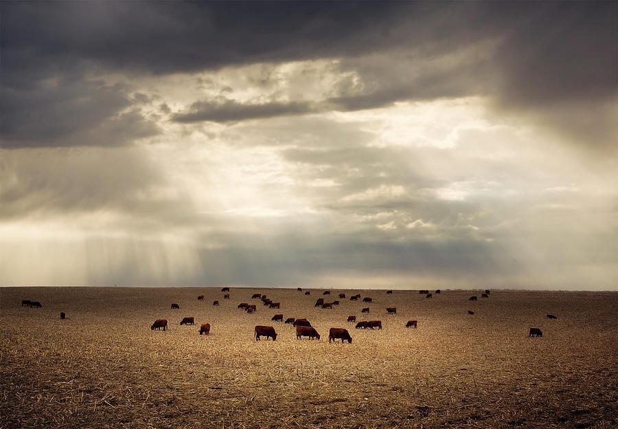 Golden Cattle Photograph by Jake Olson Studios Blair Nebraska