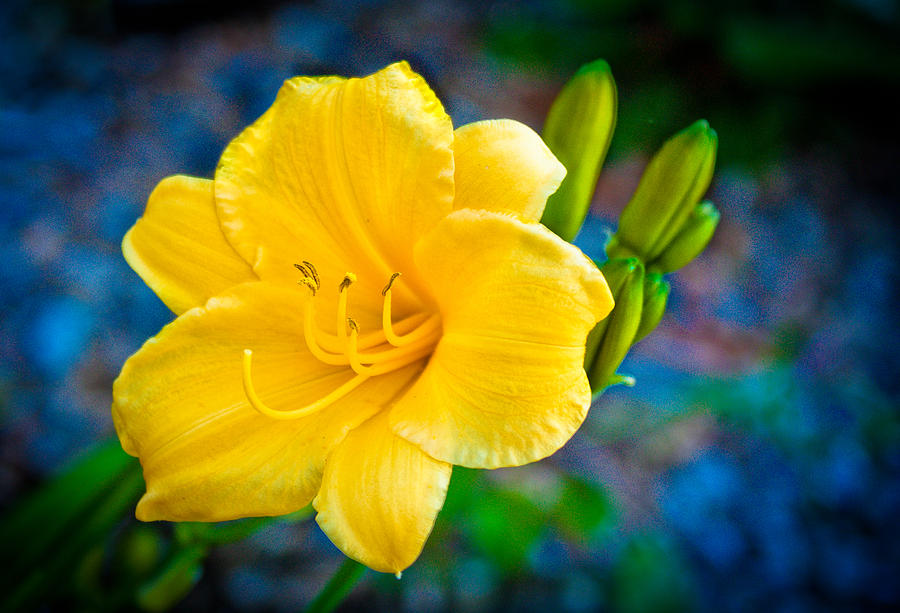 Day Lily Photograph - Golden Day Lily by David Forester