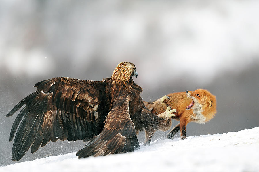Eagle Photograph - Golden Eagle And Red Fox by Yves Adams