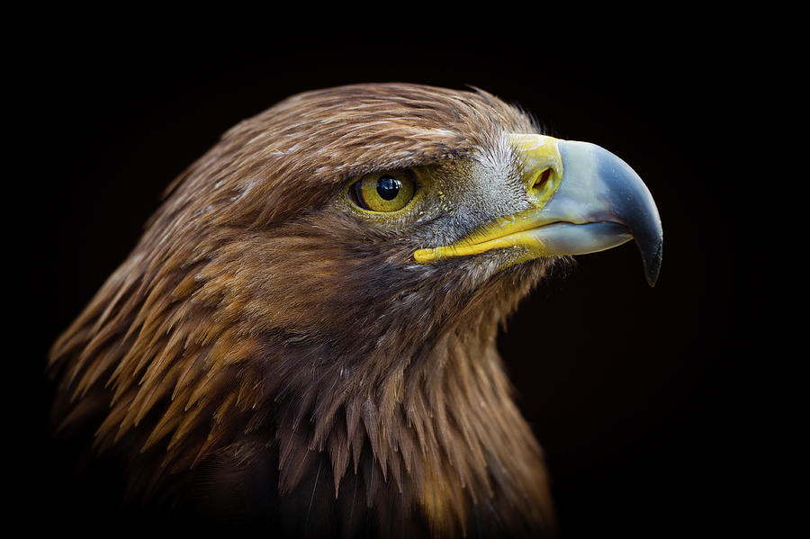 Golden Eagle Photograph by Peter Orr Photography