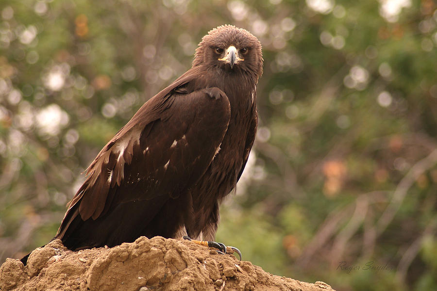 Beautiful Photograph - Golden Eagle by Roger Snyder
