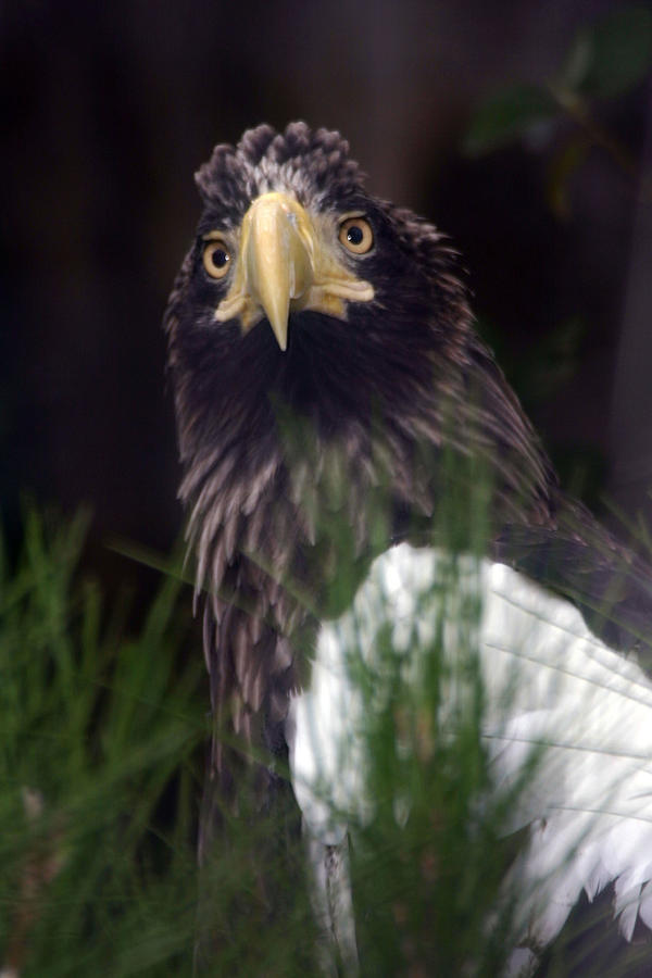 Blurred Photograph - Golden Eagle by Ronald Hunt