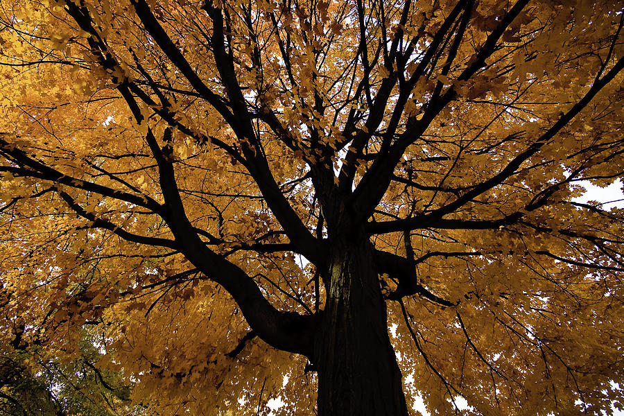 Golden Fall Photograph by Mike Lanzetta