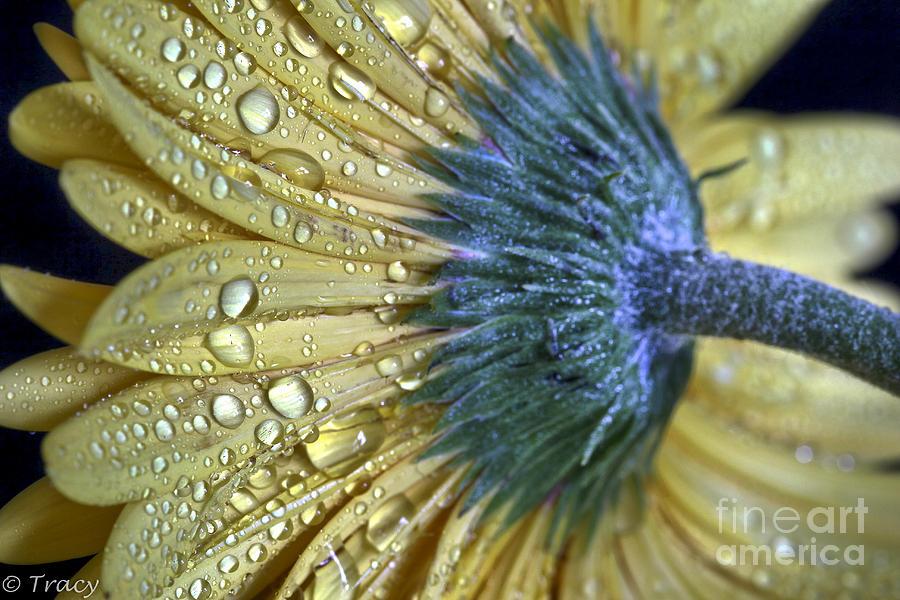 Gerbera Photograph - Golden Gerbera by Tracy  Hall