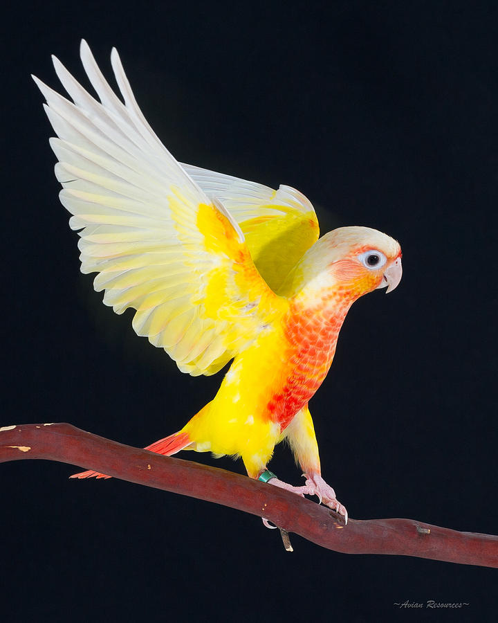 Golden Greencheek Conure by Avian Resources