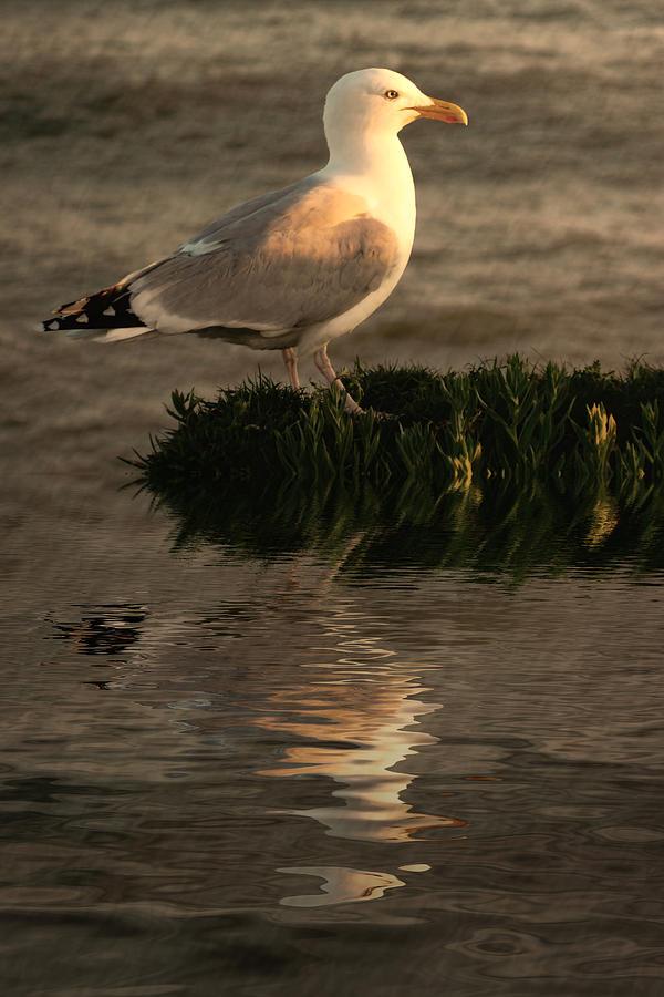 Sea Birds Photograph - Golden Gull by Sharon Lisa Clarke