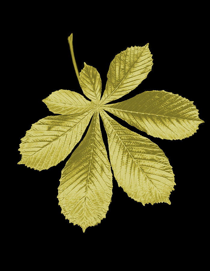 Golden Horse-chestnut Leaf On A Black Photograph by Mike Hill